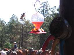 Horses & Hummingbirds at Clark's Fork